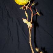 Untitled - yellow bird