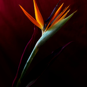Bliss of Strelitzia's Joy 1